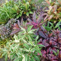 assorted cordylines 140mm. Click for more information...