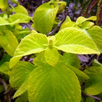 coleus. Click for more information...