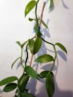 vanilla planifolia. Click for more information...